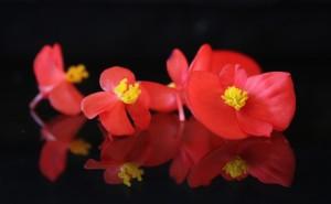 begonia-300x185